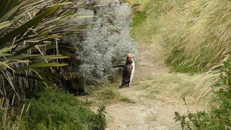Yellow-eyed penguins in Dunedin