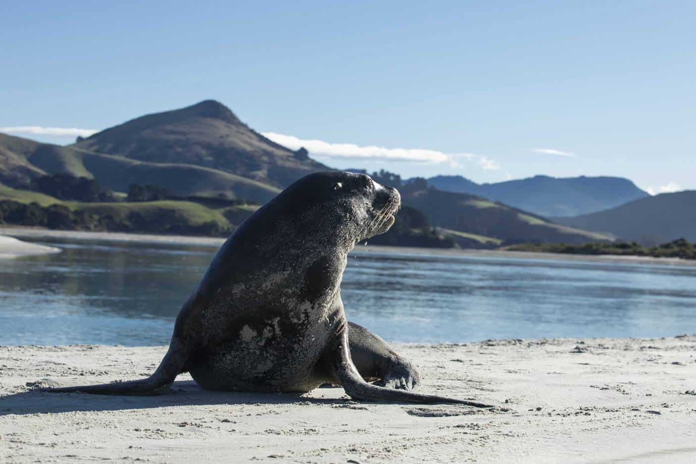 Sea lions and seals visible on secluded beach in Dunedin