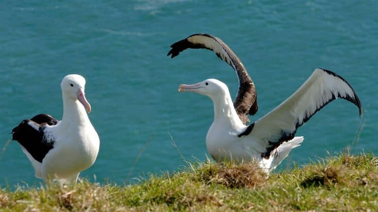 Albatrosses at colony at the Royal Albatross Centre, Tiaroa Head, Dunedin